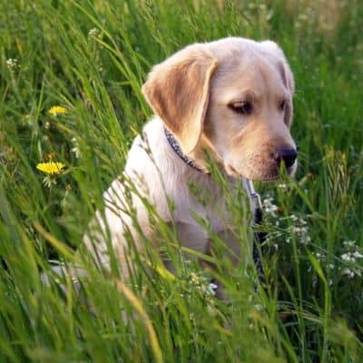 Labrador Retriever puppy sitting in grass.